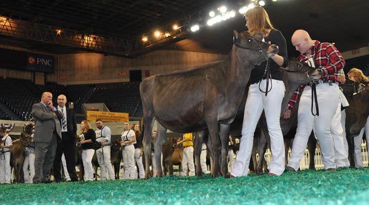 junior-calf-open-with-judges
