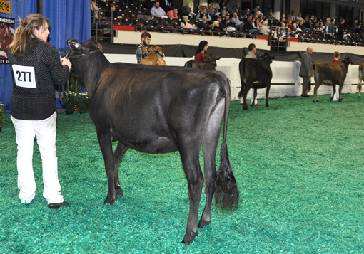 junior-yearling-open-class-overview