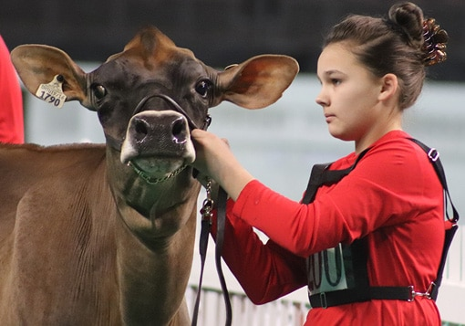 milking-yearling-junior-show-sauder
