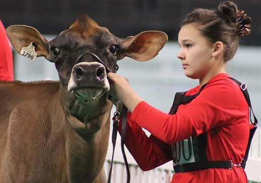 milking-yearling-junior-show-sauder